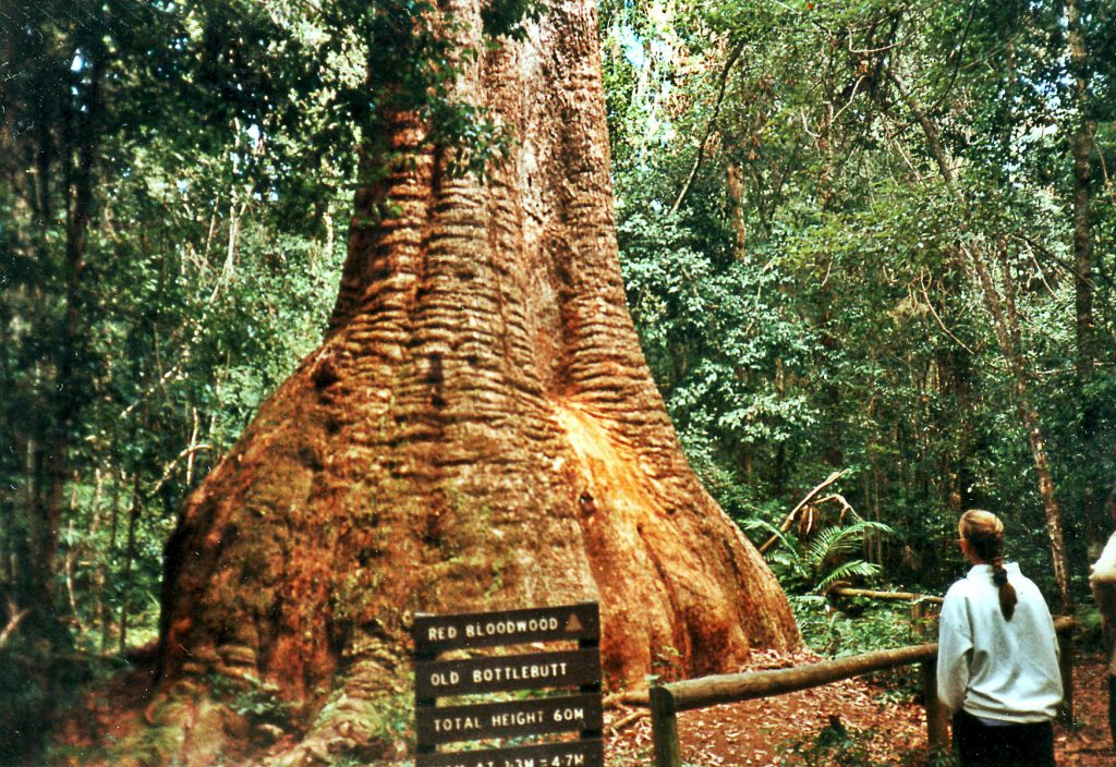 Old Bottlebutt in Burrawan State Forest, Port Macquarie