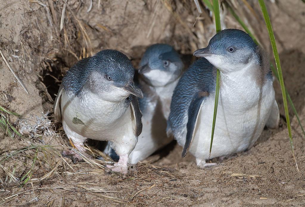 Penguin Colony in Launceston