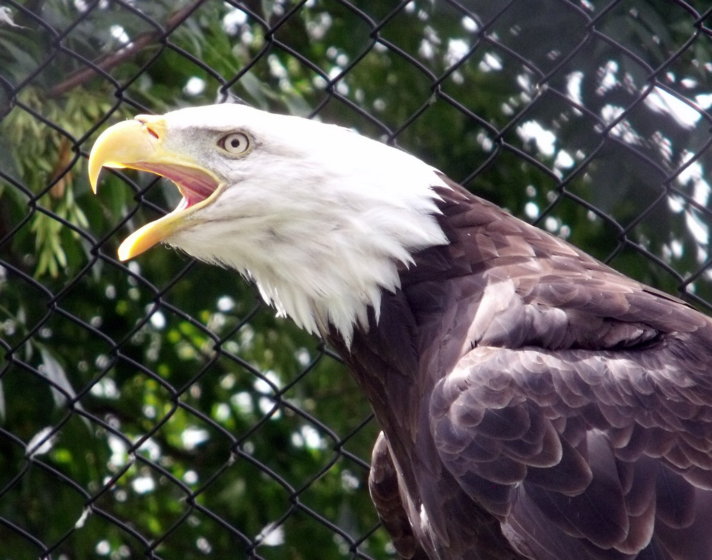 A eagle in the Magnetic Hill Zoo