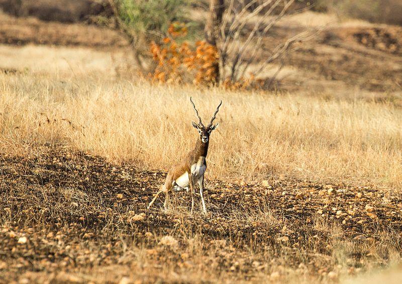 Jayamangali Blackbuck Reserve.