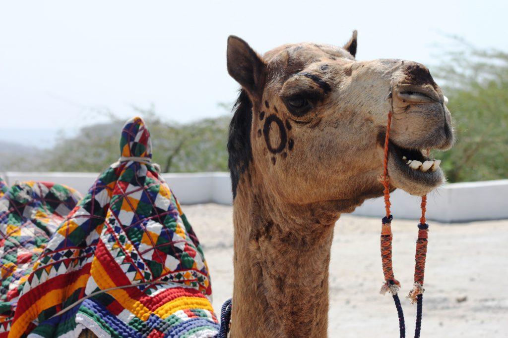 A camel in Gujarat