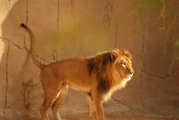 A lion in Al Ain Zoo
