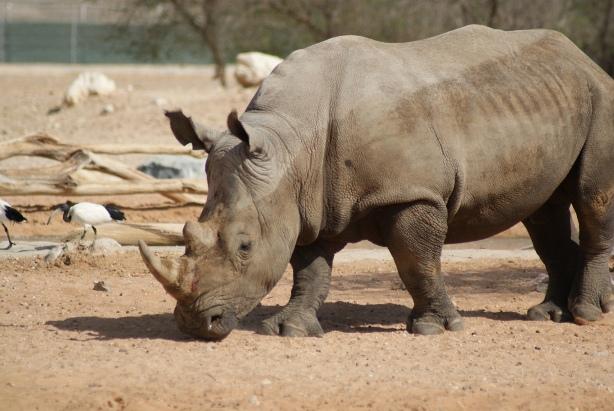 A Rhino in Al Ain Zoo