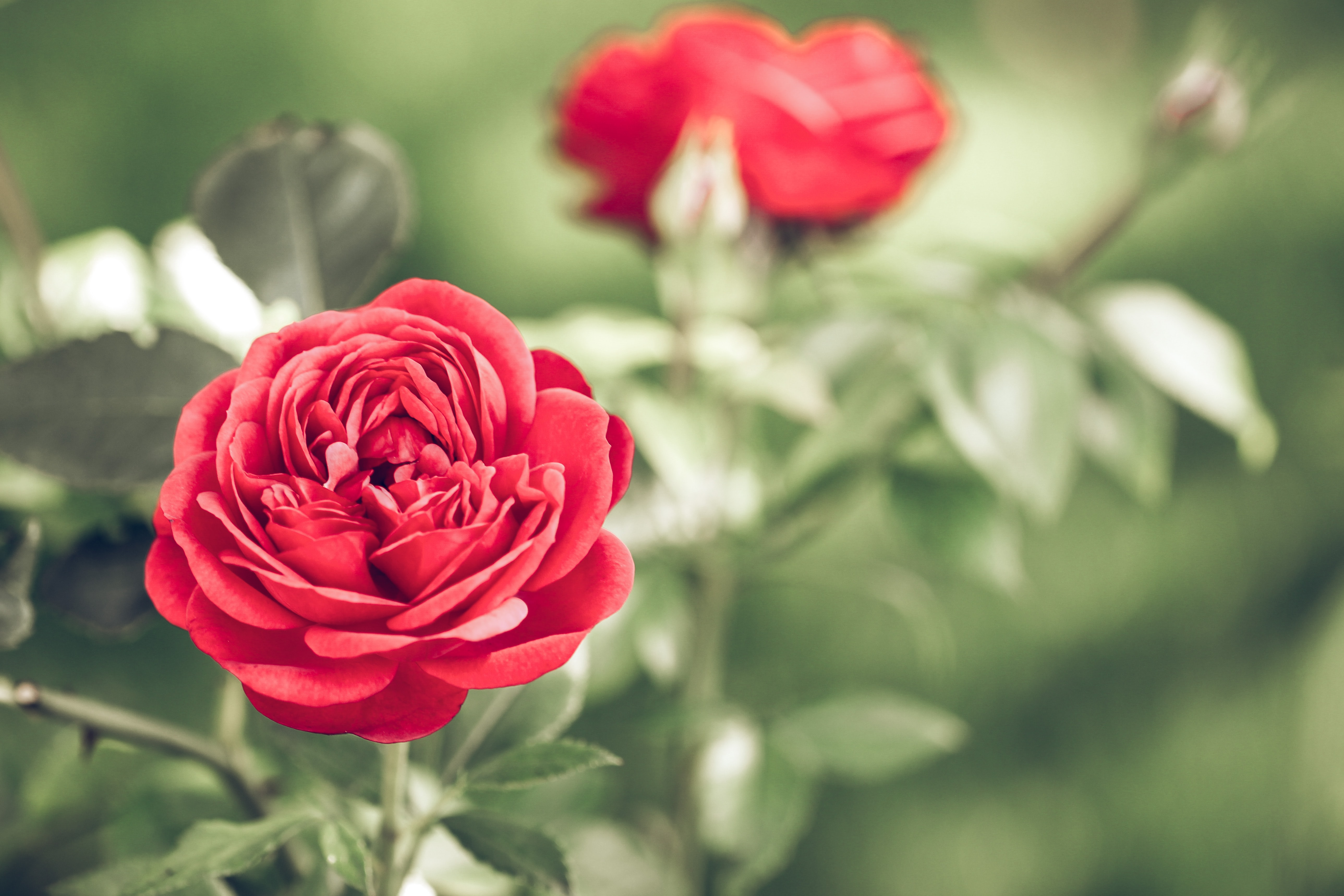 Rose Garden, Best Things To See And Do In Switzerland