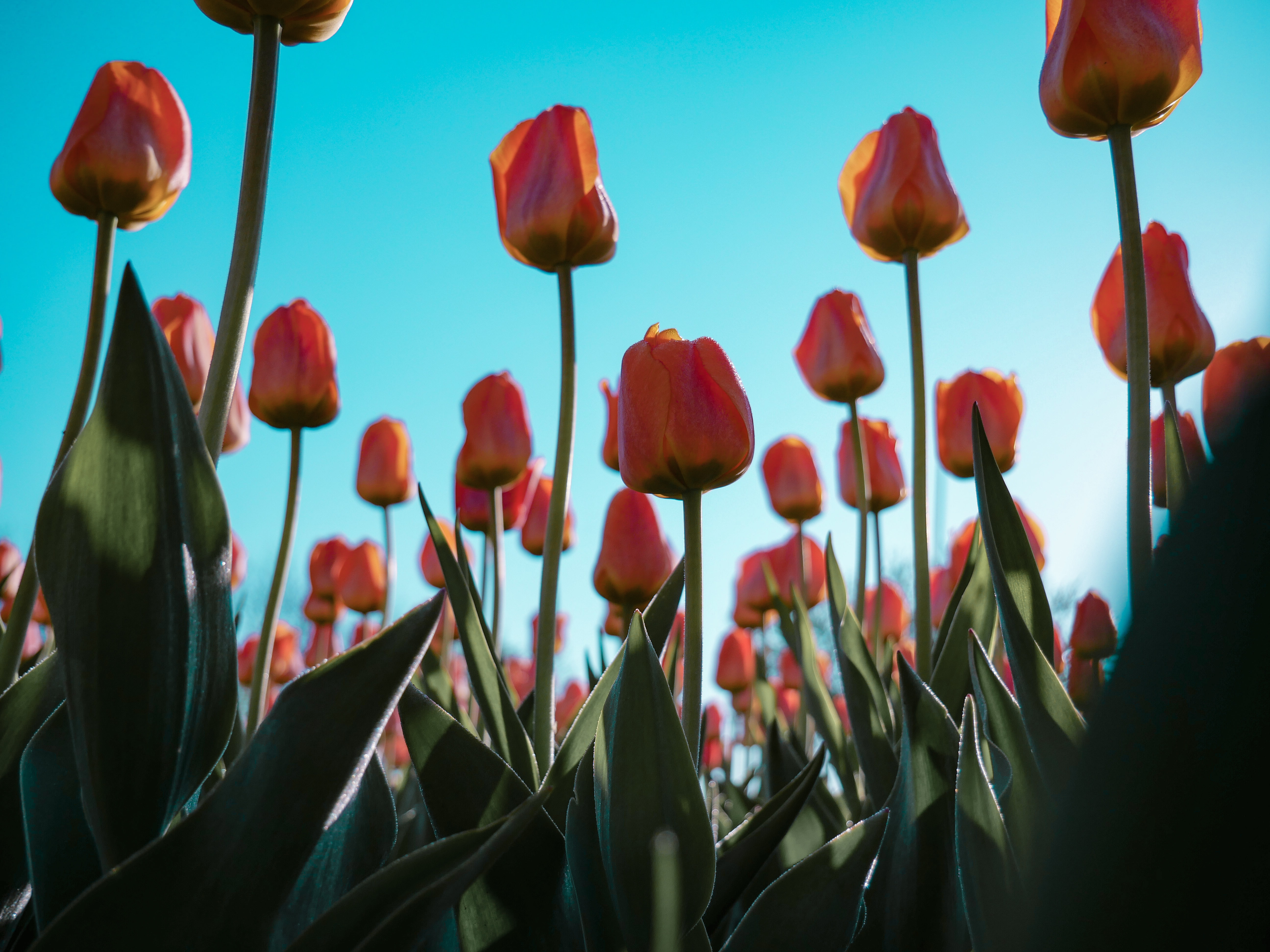 Enjoy the Tulip Festival, Things to do in Amsterdam in April