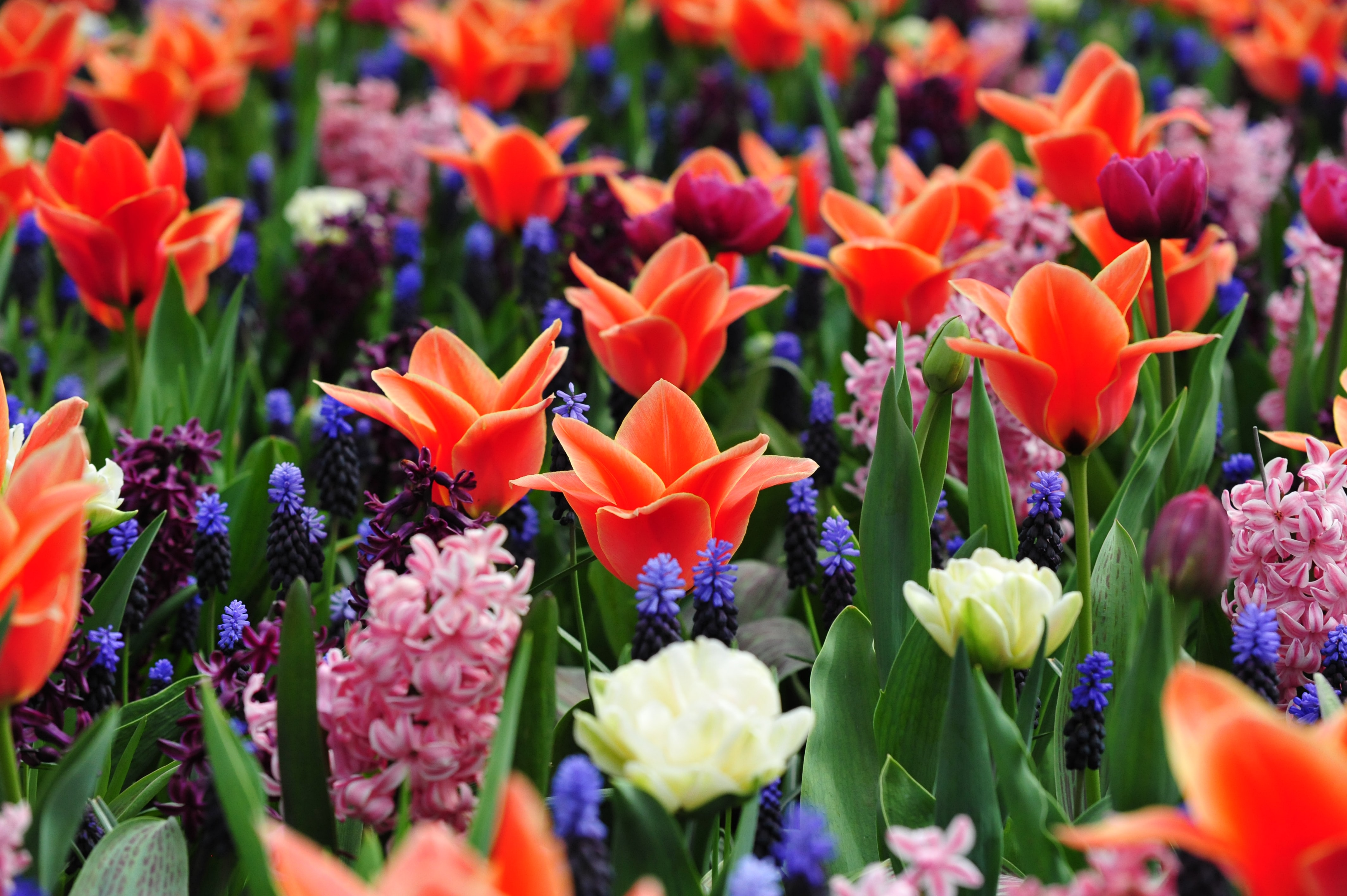 Stroll the Keukenhof, Things to do in Amsterdam in May