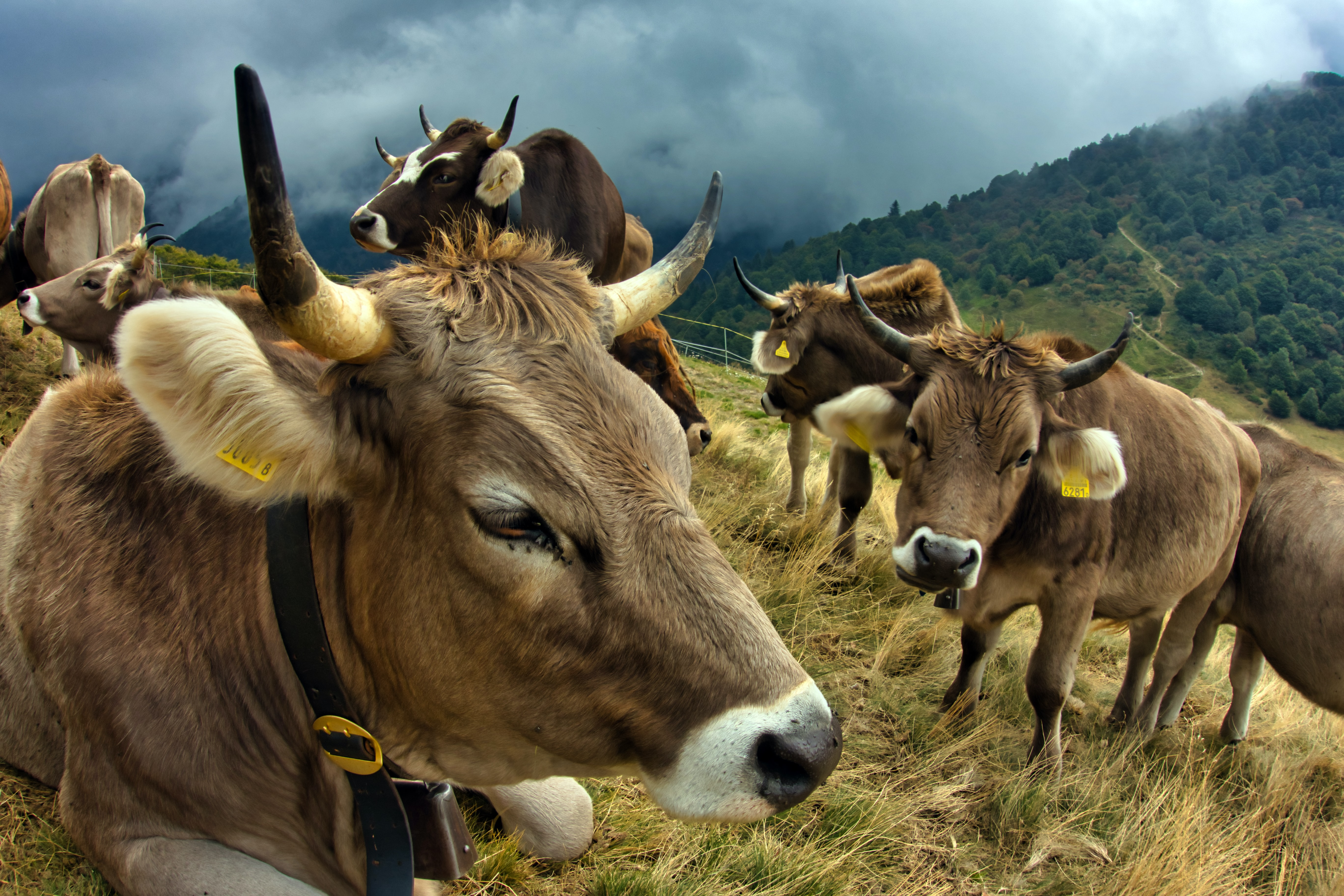 Brown cows on Swiss Alps.
