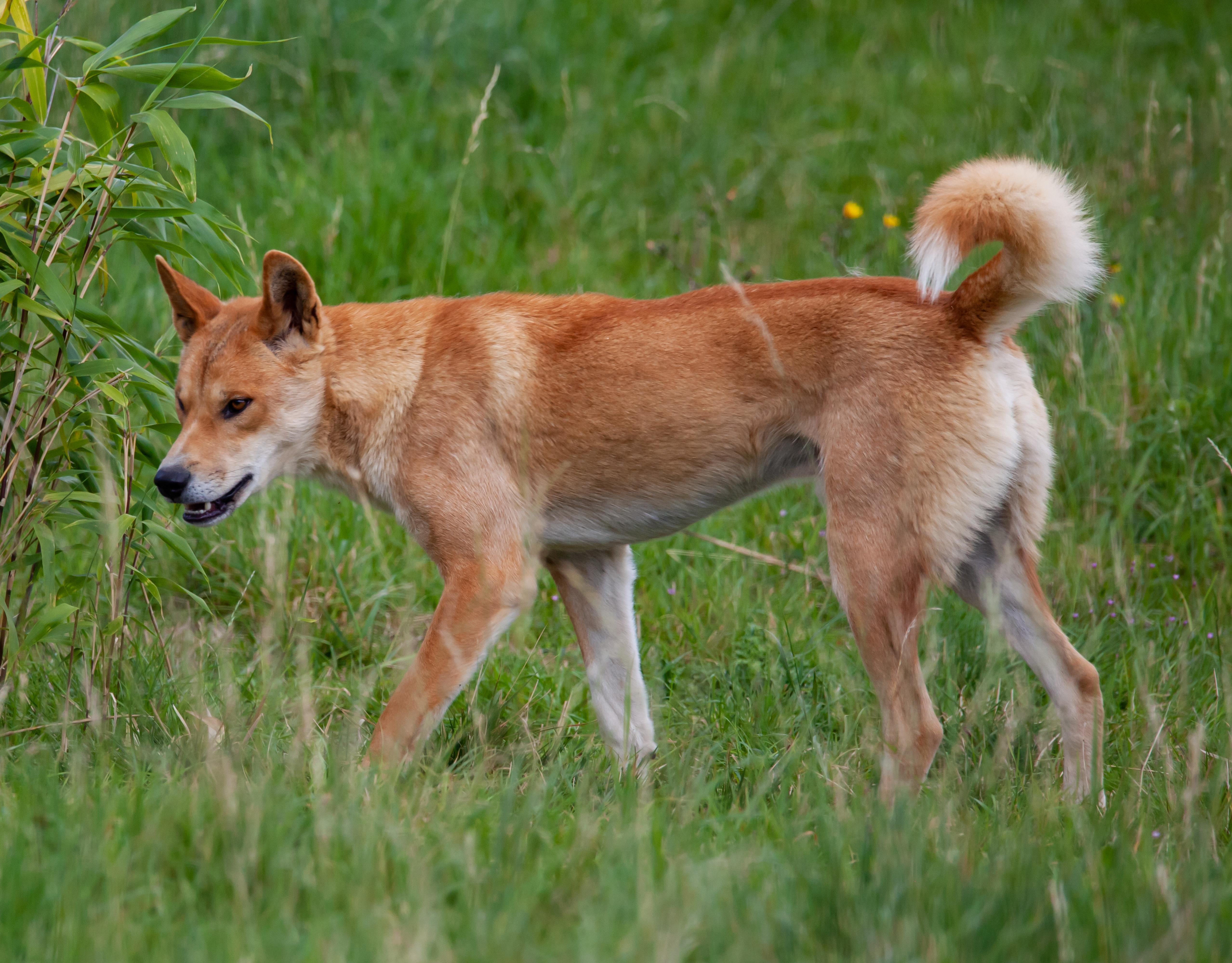 Dingo, Unique Animals Of Australia