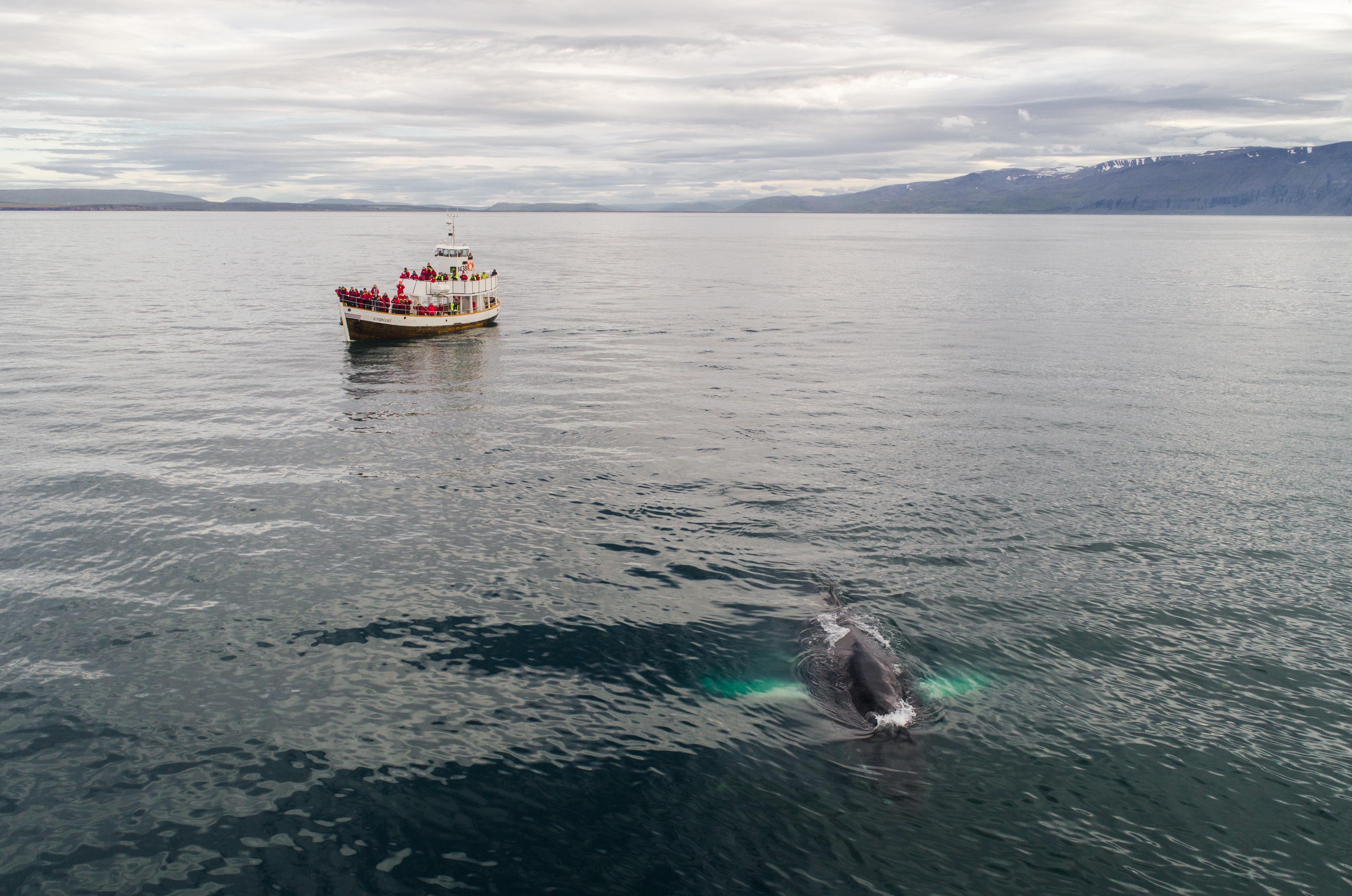 Whale Watching, Húsavík