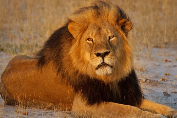 Keywords: stock, wildlife, lion, Cecil, poaching, hunting Cecil the lion relaxing at sunset in Hwange National Park, Zimbabwe