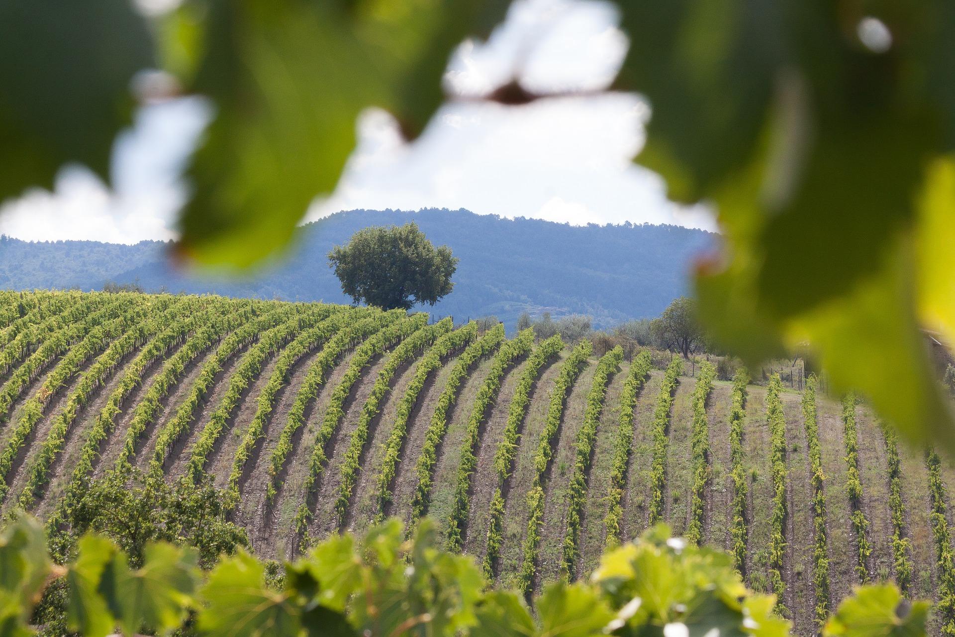 vineyard-989270_1920