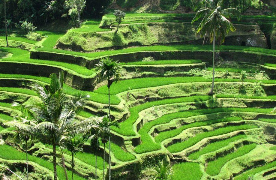 Ubud paddy terraces