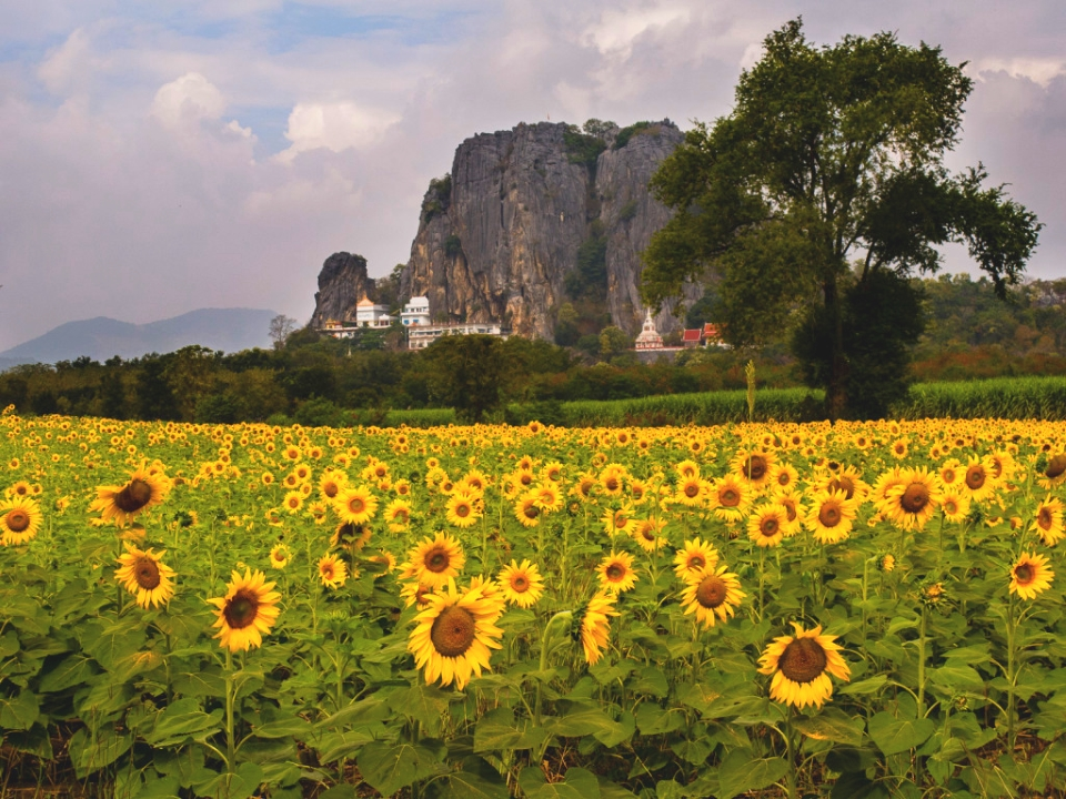 Sunflowers of Lopburi